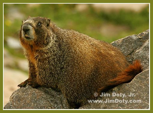 Marmot, Trail Ridge Road, Colorado