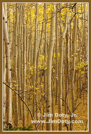 Aspen Boles, Marshall Pass Road, Colorado
