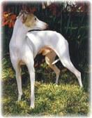 Public Gallery Photo Of the Day -- Kalon Italian Greyhounds