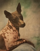 American Hairless Terrier Females