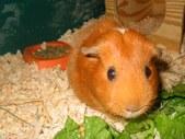 Elsa (Fremont mites pig)