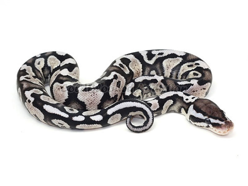 AXANTHIC PASTEL YELLOW BELLY