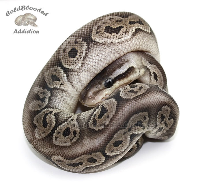 Black Pewter Ball Python Black pewter. ball python