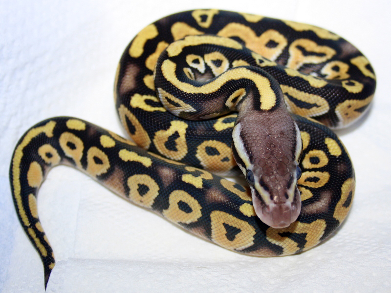 Pastel mystic ball python - photo#7