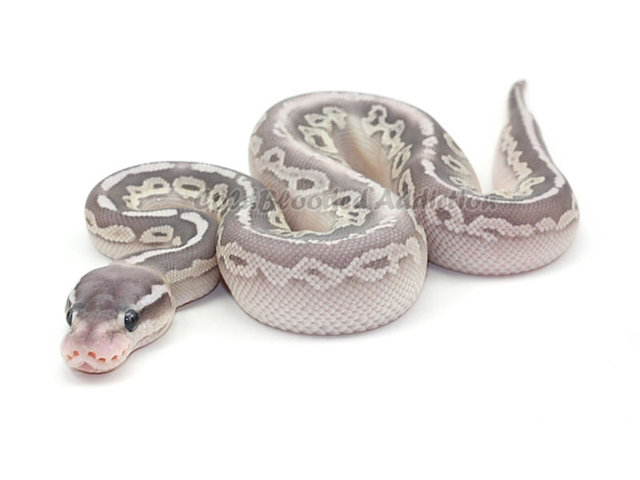 Black Pewter Ball Python Black pewter butter hypo. ball python