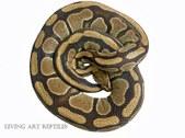 Terra Ball Pythons Living Art Reptiles