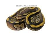 Terra Mojave Ball Python Living Art Rep