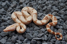 O.T. Motley Het. Sharp x Paradigm Jungle