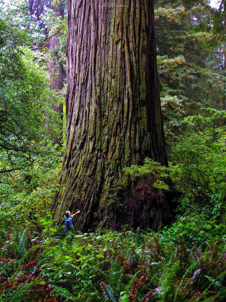 IMAGE: http://photos.imageevent.com/mdvaden/redwoods/huge/DNT_MDV_1200mdv.jpg