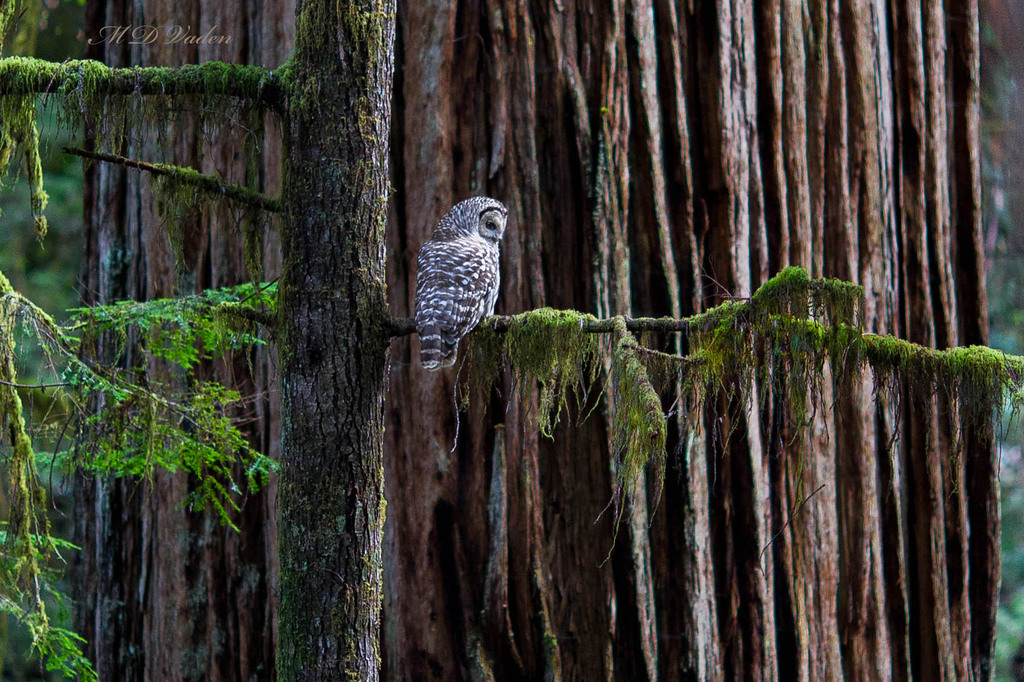 IMAGE: http://photos.imageevent.com/mdvaden/redwoods/huge/owl_1200mdv.jpg