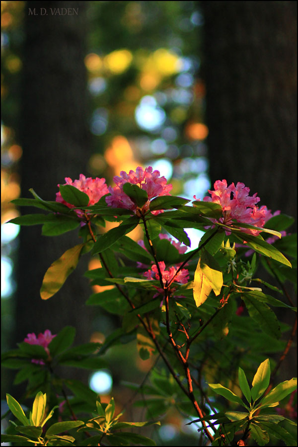 IMAGE: http://photos.imageevent.com/mdvaden/redwoods/rhododendron_600.jpg