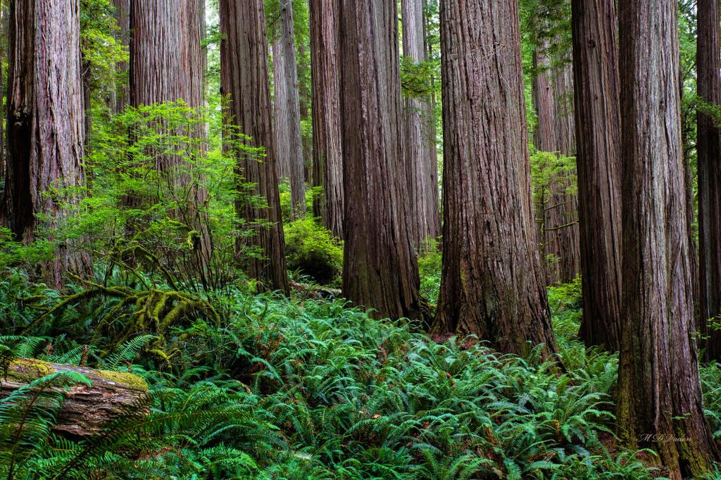 IMAGE: http://photos.imageevent.com/mdvaden/redwoods2/huge/Fern_Glade_14mdv.jpg