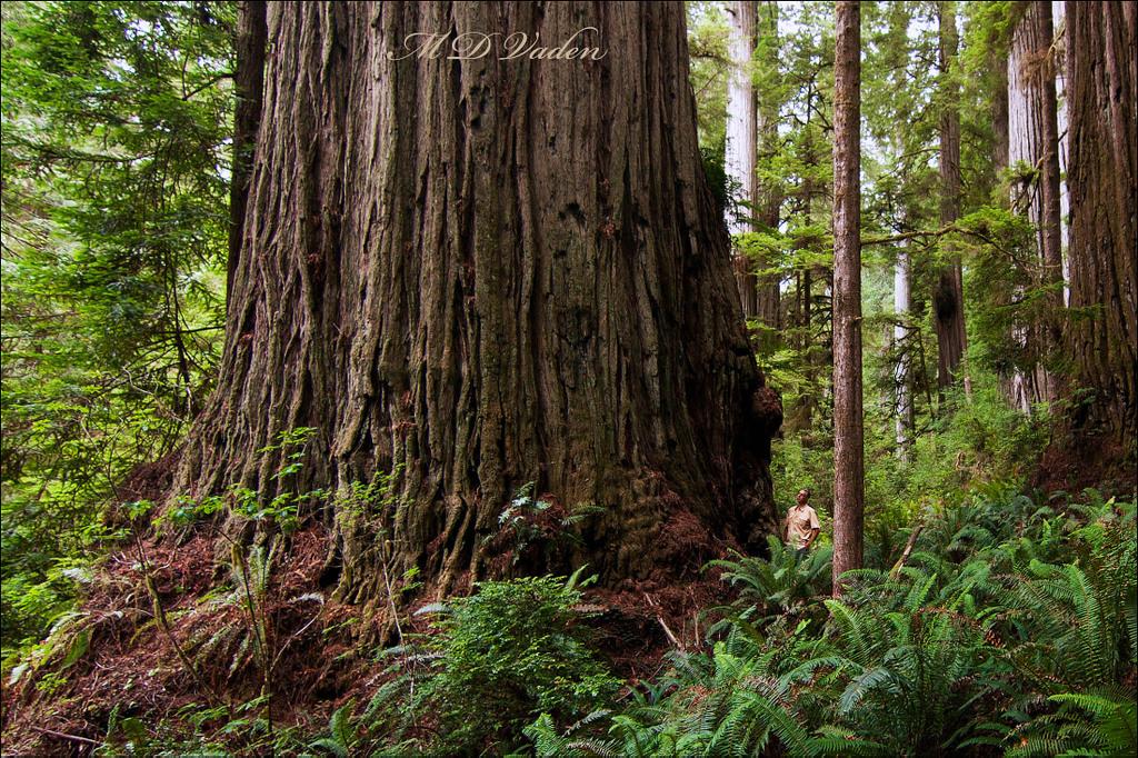 IMAGE: http://photos.imageevent.com/mdvaden/redwoods2/huge/Grogan_1_12mdv.jpg