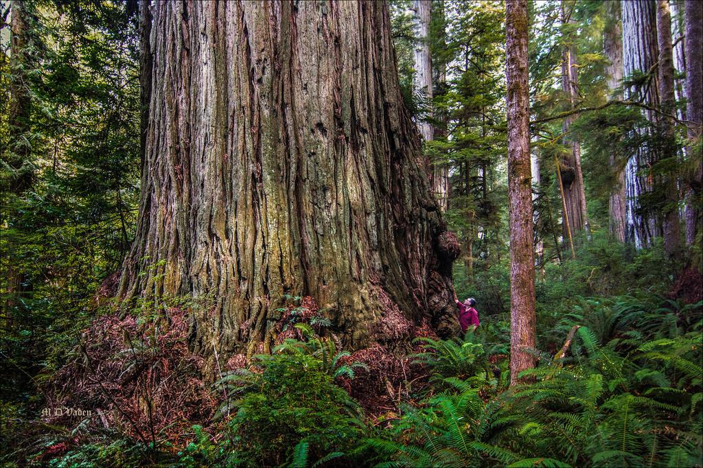IMAGE: http://photos.imageevent.com/mdvaden/redwoods2/huge/Redwood_Giant_sample.jpg