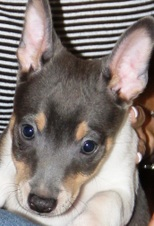 MIAKODA RAT TERRIERS - AVAILABLE PUPPIES