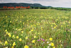 Texas Hill Country Wildflowers, 2005