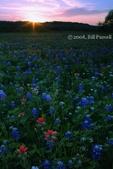 Texas Wildflowers, 2008