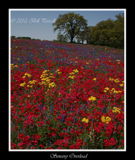 Texas Wildflowers, 2010