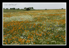 Texas Wildflowers, 2015