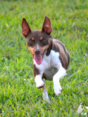 RAT TERRIER FEMALES