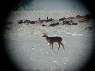 deer-geese2.jpg
