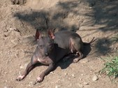 Our American Hairless Terriers