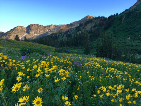 Utah Wildflowers - Albion Basin