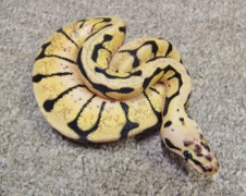 2012 Bumble Bee 1 Male $350 SOLD