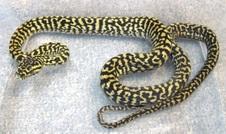 2013 BSJH Zebra Female 6 $525 SOLD