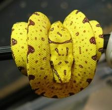 2014 Padaido x Biak Yellow Neo $325 SOLD