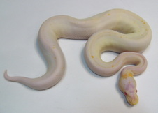 Albino Black Pastel- Cinnamon