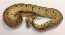 Ball Python Collection