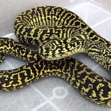 Zebra Carpet Python