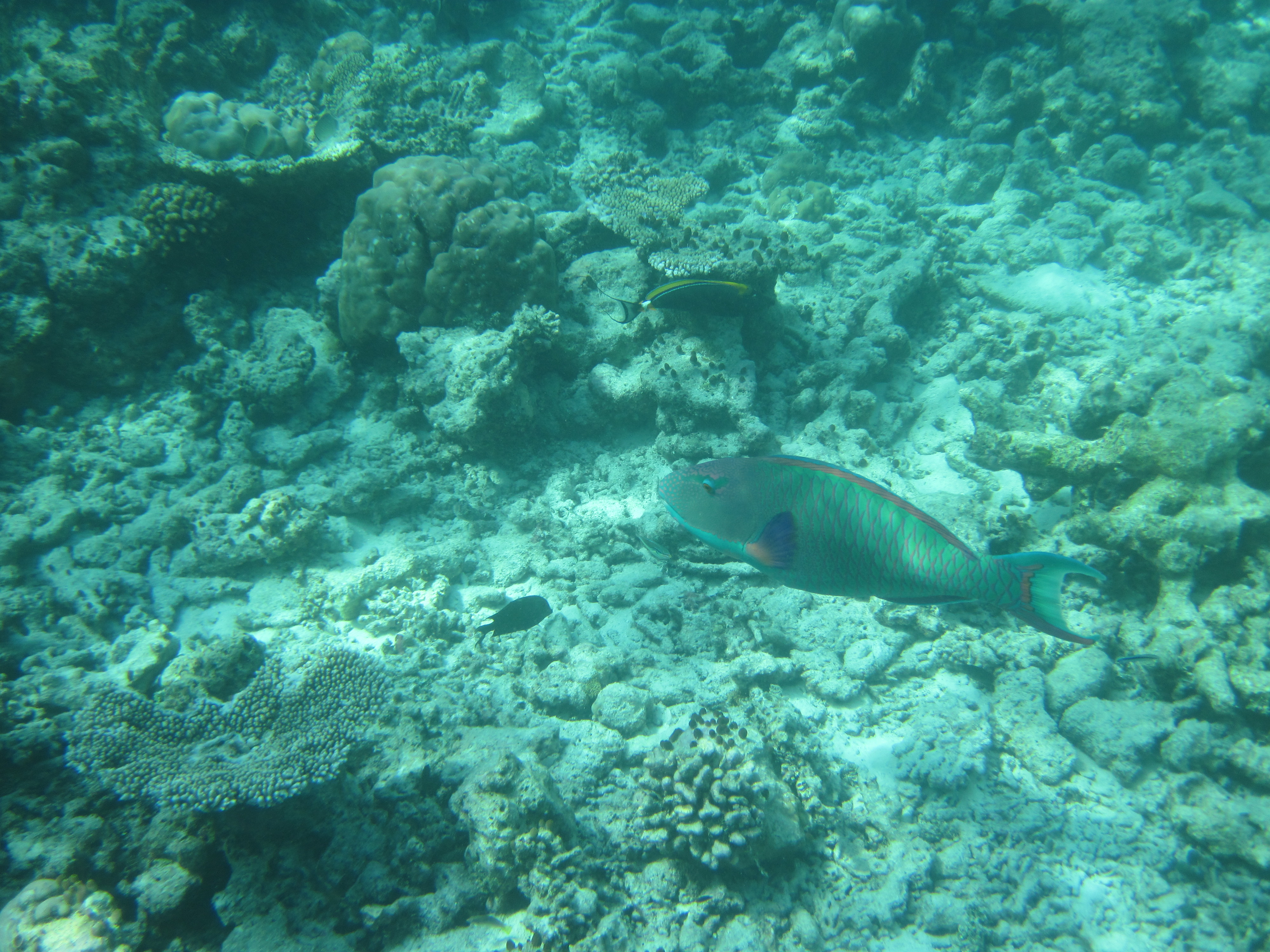 Komandoo Fish