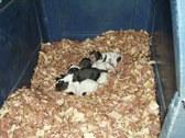 Ram & Sheba's Pups