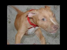 Our American Pit Bull Terriers