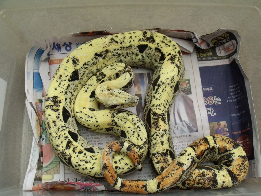Sunglow And Me: Paradox Vs Piebald? : Snakes