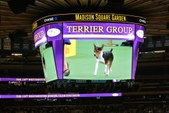 2015 Westminster Kennel Cub Dog Show