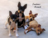 Adult dogs/older puppies for adoption