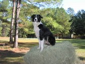BILLY THE BORDER COLLIE