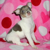 Rat Terrier Words of Encouragement