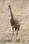Public Gallery Photo Of the Day -- Heron Park--Sandhill Cranes