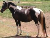 Dixieland Walking Horses