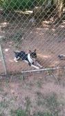 Valaurora Decker Terriers