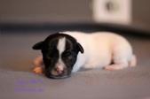 Jiggs x Dot Puppies