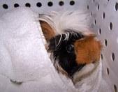 Ginny: A Rescued Guinea Pig