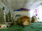 Webcam Images: Guinea Pig Fun