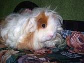 Jasmine: A Rescued Guinea Pig