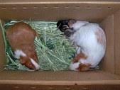 Oakland Guinea Pigs