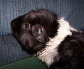 Oreo: A Rescued Guinea Pig